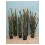 rietsigaren <p>€ 10,00 p/s VERHUUR</p> <p>7 planten / 110-140 x 25 cm (lxb) / zijde</p>
